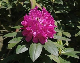 10 Seeds of Rhododendron Catawbiense Catawba - $16.83