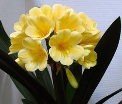 1 Pcs Real clivia seeds plants bonsai garden flower seed semente decorative  - $8.55+