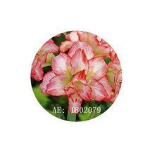 HAPPY FLOWER 2 Bulbs KASIN COUNTY True Hippeastrum Rutilum Amaryllis Lov... - $1.78
