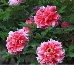 20 Seeds Rare White Red Tree Peony Seeds, Professional Pack - $5.99