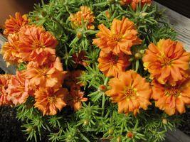 200 Seeds - Portulaca Moss Rose Orange - Portulaca Grandiflora - Ground ... - $8.49