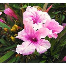 15 Outsidepride Mexican Petunia Pink Flower Seeds - $9.99