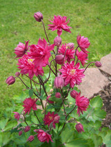 SHIPPED FROM US 100 CLEMENTINE RED DOUBLE COLUMBINE Aquilegia Seeds, LC03 - $21.00