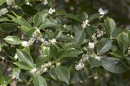 Osmanthus Fortunes Fragrant Tea Olive Trade Gallon Pot Live Plant - $63.99