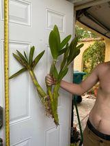 Schomburgkia grandiflora Myrmecophila Species Orchid Plant Blooming 1201d image 4