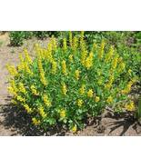 Organic Native Plant, Carolina Lupine, Thermopsis caroliniana - $3.50