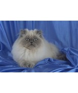 16X20 inches Top 100 Pedigree Cat Canvas Print Colorpoint Longhair - $23.70