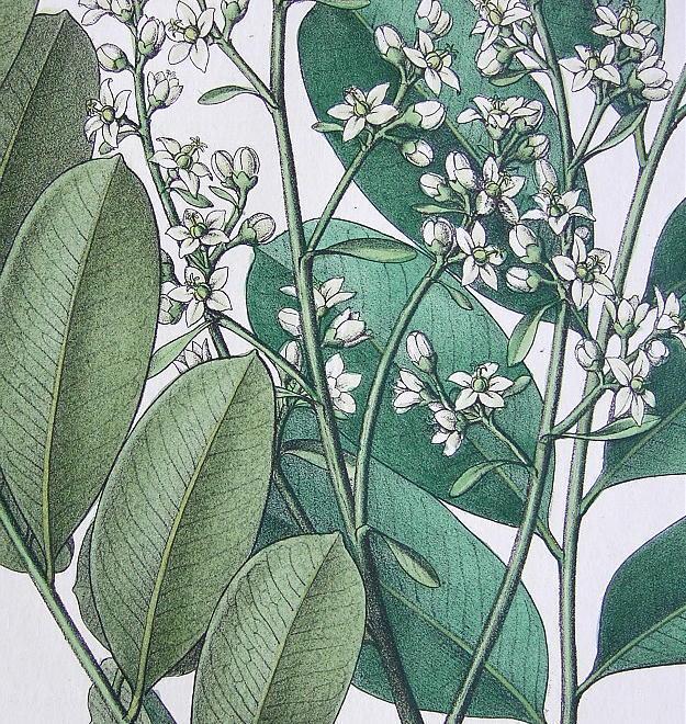 PARADISE TREE Medicinal Simaruba Medicinalis - 1860 Color Botanical Print