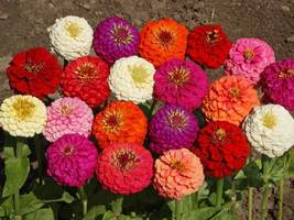 SHIP From US, 8K Seeds Zinnia Dwarf Mix Fresh, DIY Decorative Plant ZJ - $50.37