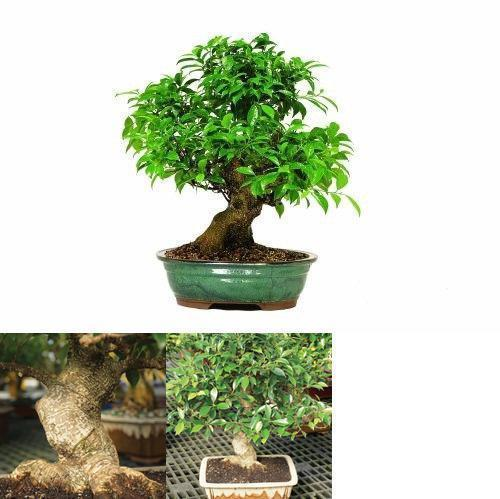Primary image for 15 years old Golden Gate Ficus Bonsai Tree Live Plant Indoor Home or Office 16""