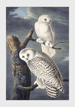 "11x14"" Cotton Canvas Print, Snowy Owl, John James Audubon, Wild Life, Birds - $23.99"