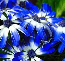 BEST PRICE 30 Seeds Dark Blue White Florist's Cineraria,DIY Flower Seed E3473 DG - $6.00
