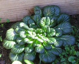 Asian Greens, Mustard Spinach, Tatsoi, Tah Tsai 100+ Fresh Heirloom Seeds - $1.63