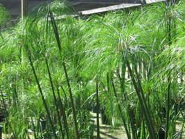 Giganteus Cyperus Papyrus plant live plant - $26.00