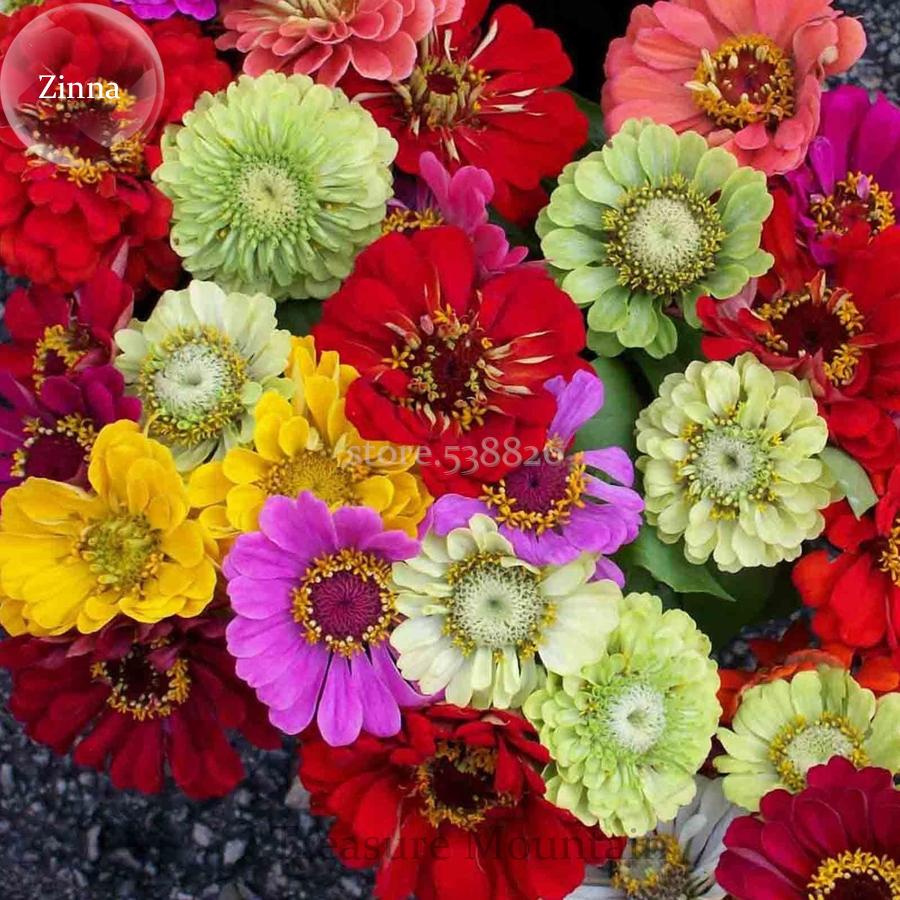 Mixed Colorful Zinna Elegans California Giant Flowers, 50 Seeds, Heat Tolerant F - $4.73