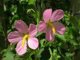 Organic Native Plant, Seashore Mallow ( Kosteltzkya virginic - $3.50