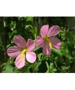 Organic Native Plant, Seashore Mallow ( Kosteltzkya virginic - $3.50