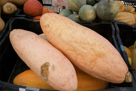 SHIPPED FROM US 40 Squash Banana Pink Heirloom Annual Seeds, GS04 - $17.00