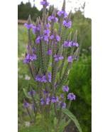 Organic Native Plant, Blue Vervain, Verbena hastata - $3.50