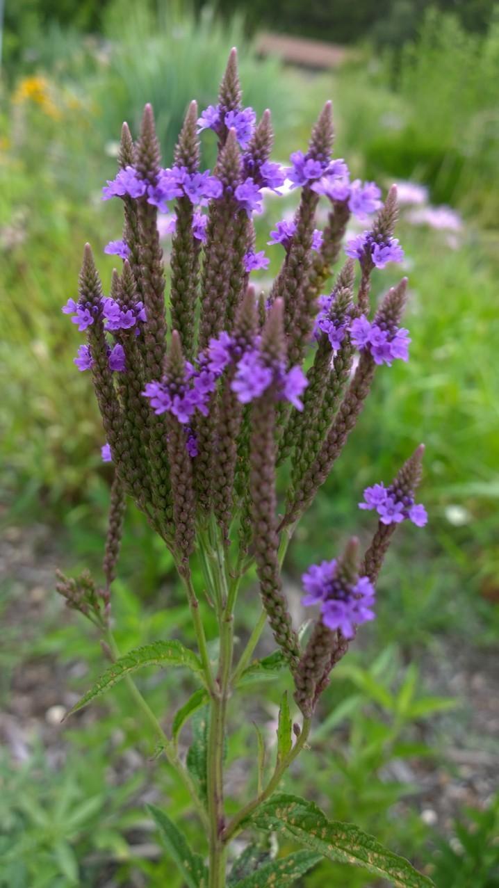 Organic Native Plant, Blue Vervain, Verbena hastata