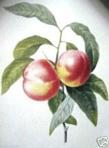 Pecher a Fruits - Peach by Pierre Joseph Redoute - $100.00
