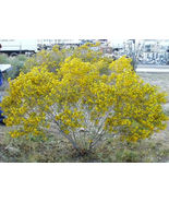 25 seeds - Yellow Silver Cassia Silvery Leaf Senna Aremisiodes #SFB15 - $17.99