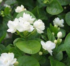 28 pcs Gardenia Jasminoides Cape Jasmine Heirloom Seeds - $10.85