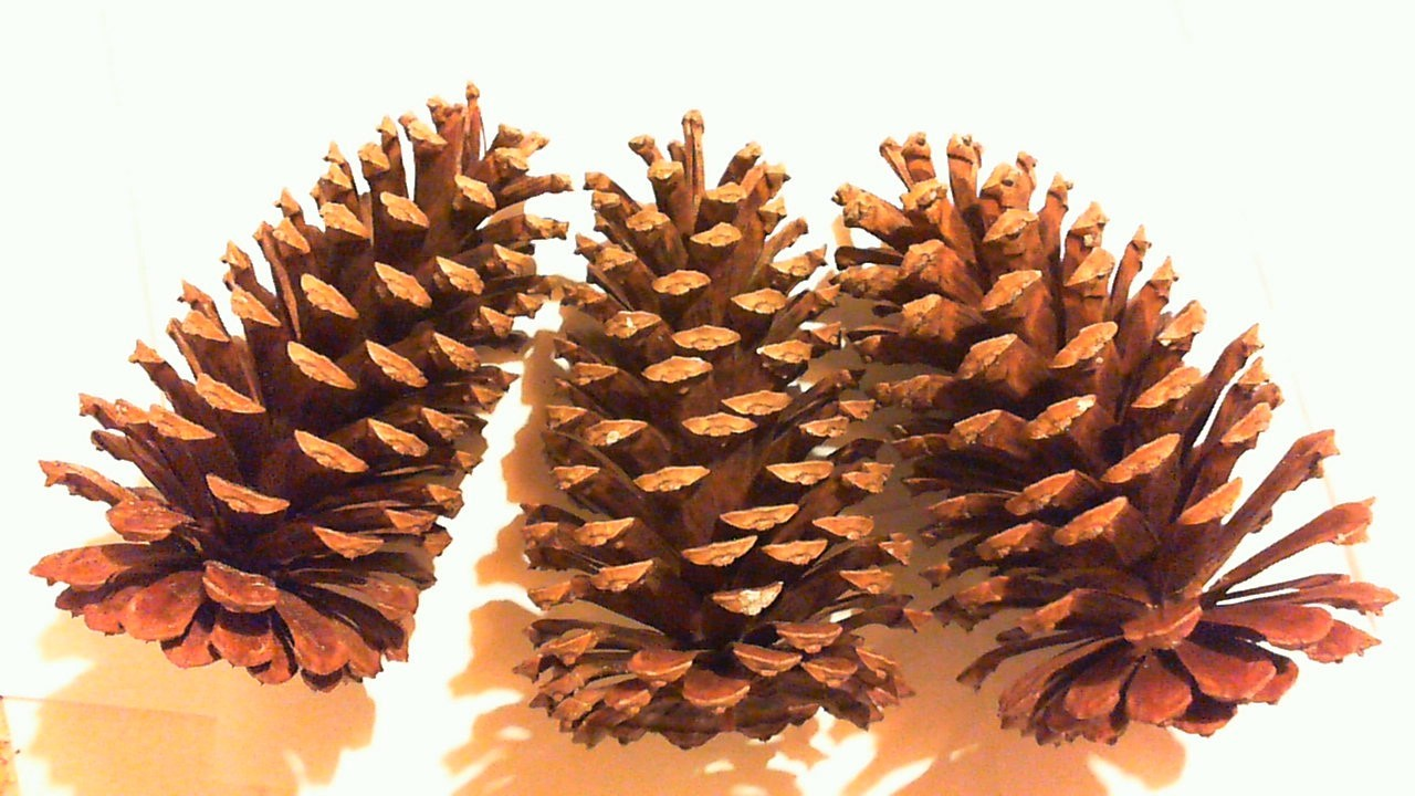 Lot of 6 large long leaf holiday pine cones great for Large pine cones