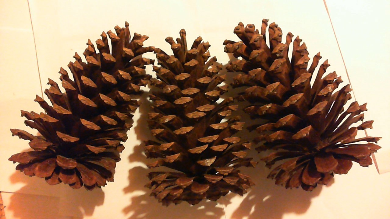 Lot of 6 large long leaf holiday pine cones great for Long pine cones