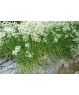 Allium_tuberosum_thumbtall