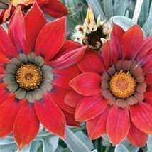 Gazania Kiss Frosty Red Flower Seeds (Gazania Rigens) 10+Seeds - $5.92+