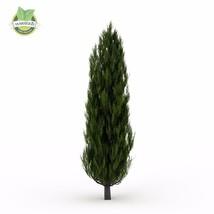 50pcs ITALIAN CYPRESS (Cupressus sempervirens )Tree Seeds,popular hardy ... - $3.95
