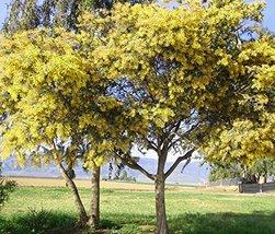 30 Silver Wattle Mimosa Tree Seeds Acacia dealbata - $10.88