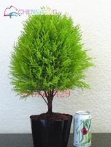 50pcs Cypress Trees Platycladus Orientalis (1), HZ Beautiful Flower Seeds - $8.89