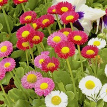 400+ENGLISH DAISY MIX Flower Seeds European Wildflower Early Blooms Grou... - $2.50