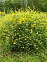 75 Seeds of Baptisia Tinctoria - SMALL YELLOW WILD INDIGO - $17.40