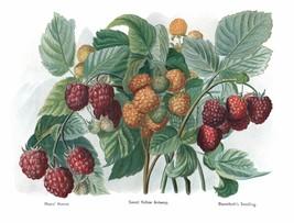Vintage Fruit Prints: Rivers Hornet - Fruit Growers Guide - 1880 - $12.82+