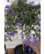 Duranta Purple Duranta Repens 1g Live Plant Yard, Garden & Outdoor Livin... - $93.00