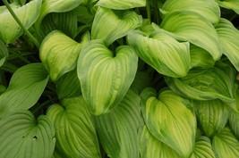 Quart Pot - Hosta Guacamole - Heavy - 1 Plant - Gardening - Houseplant -... - $63.99