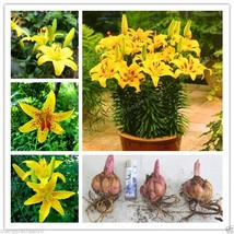Perfume Lily Bulbs (not lily seeds) bonsai flower High germination - Yellow - $9.05