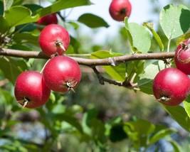 Malus Pumila (Fiji Apple) 25 seeds - $1.54