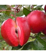 50pcs Red Fleshed Apple Seeds Redlove Apple Fruit Very Tasty IMA1 - $14.99