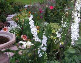 150 WHITE KING LARKSPUR Delphinium Consolida Knight's Spur Flower Seeds ... - $11.00
