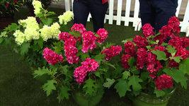 RUBY SLIPPERS Oakleaf  Hydrangea shrub image 5