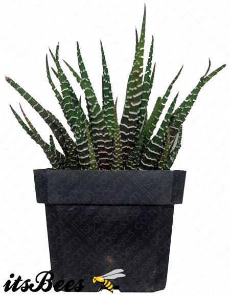 """Haworthia attenuata Comes in a 2.5/"""" Pot Zebra cactus"""
