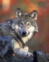 Wolf Empowerment Reiki Attunement - $7.50