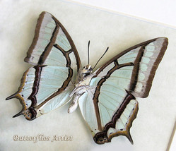 Chinese Nawab Sage Green Polyura Narcaea Real Butterfly In Shadowbox - $34.99