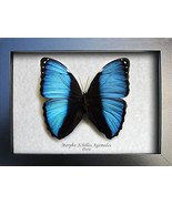 Blue Banded Morpho Achilles Real Butterfly From Peru In Shadowbox - €39,22 EUR