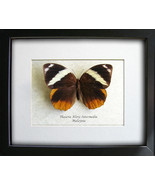 Large Exotic Tufted Jungleking Thauria Aliris Real Butterfly In Shadowbox - €39,22 EUR