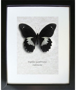 Giant Forest Papilio Gambrisius Real Butterfly In Shadowbox - €39,22 EUR